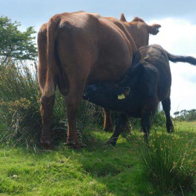 Kühe bei den Hurlers im Bodmin Moor
